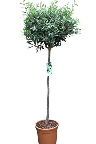 pflanzen und andere gartenausstattung von olive grove online kaufen bei m bel garten. Black Bedroom Furniture Sets. Home Design Ideas