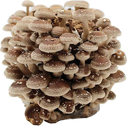 500 g Pilzm/ännchen Bio Pilzzucht-T/üte Limonenpilz Pilzzauber mit Anleitung und Rezepten