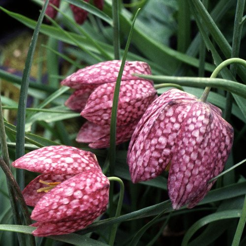 Plant World Seeds - Fritillaria Meleagris Seeds von Plant World Seeds