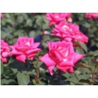 Edelrose 'Lady Like' ®, Rosa 'Lady Like' ®, Containerware von Rosa 'Lady Like' ®