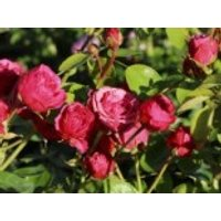 Edelrose 'Magic Rokoko' ®  / Noblesse ® Spray-Rose, Rosa 'Magic Rokoko' ®  / Noblesse ® Spray-Rose, Wurzelware von Rosa 'Magic Rokoko' ®  / Noblesse ® Spray-Rose