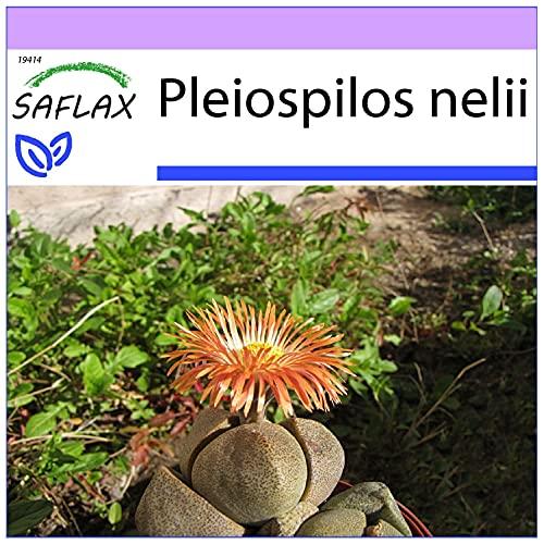 Sukkulenten SAFLAX 8 Samen Adenium obesum Wüstenrose