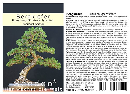 Seedeo® Bergkiefer (Pinus mugo Rostrata Pyrenäen) Bonsai 25 Samen von Seedeo