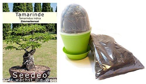 Pflanzen und andere gartenausstattung von seedeo online - Lebkuchenbaum kaufen ...