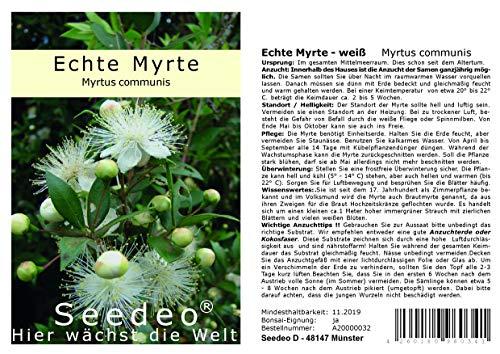 ca 100 Sa Seedeo® Kapuzinererbse Blauwschokker Pisum sativum L. convar. Sat.