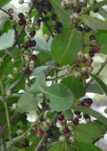 Pflanzen und andere gartenausstattung von seedeo online kaufen bei m bel garten - Lebkuchenbaum kaufen ...